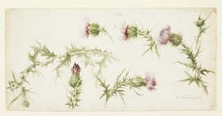 Six studies of thistles blooming painted in violet and green watercolor