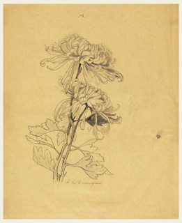 A study of two chrysanthemums with long stems and leaves. At right, some details are sketched in graphite.