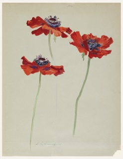 Studies of three poppies on long green stems. Flowers have dark red petals and purple centers.