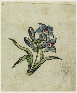 Blue tuberose blooms and buds with leaves on single stem.
