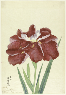 A large red iris, the inner perianth leaves white above. Upper portion of stem, leaves, and bud, against a neutral background.