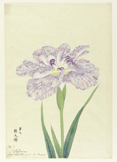 A large iris, the outer perianth leaves in mottled light purple on neutral background. Inner leaves white, with purple tips.