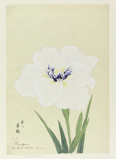 A large iris, the outer perianth leaves white, the inner leaves deep blue above, against neutral background.
