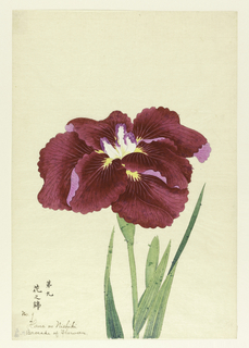 A large iris, outer perianth leaves magenta; inner leaves white with purple tips, against neutral background.