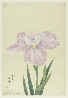 A large iris, perianth leaves in mottled red-violet, running to purple and yellow at the center. Inner leaves white, purple at tips.