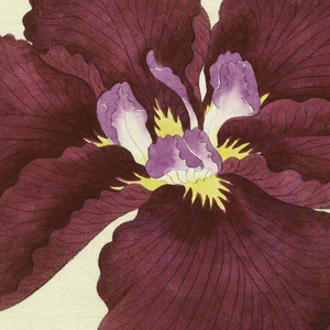 A large red iris, inner perianth leaves white with purple tips.