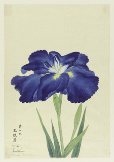 A large deep blue iris.