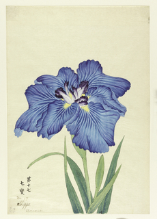 A large iris, outer perianth leaves in varying shades of light blue; inner leaves in light purple with deep purple tips.