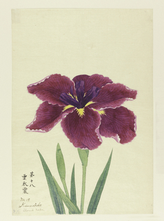 A large iris, outer perianth leaves magenta; inner leaves deep purple.