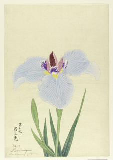 A large iris, outer perianth leaves light blue; inner leaves magenta and purple.