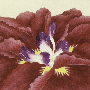 A large iris, outer perianth leaves deep red; inner leaves white with purple tips.