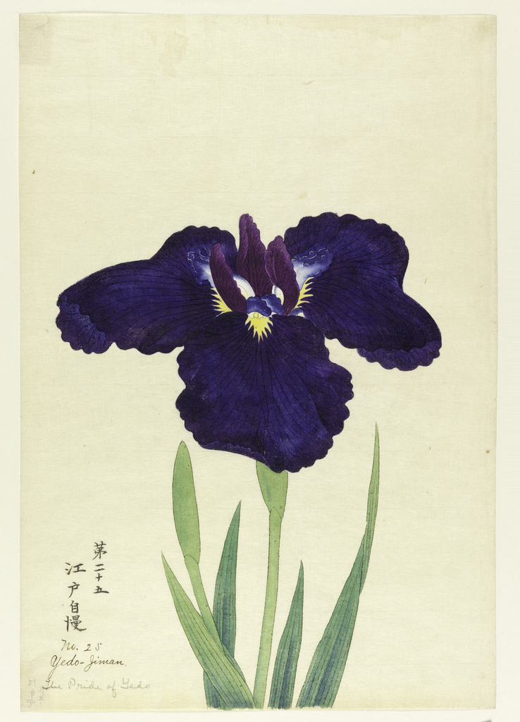 A large iris, outer perianth leaves deep blue; inner leaves purple and white with blue tips.
