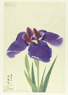 A large iris, outer perianth leaves purple; inner leaves magenta and purple.