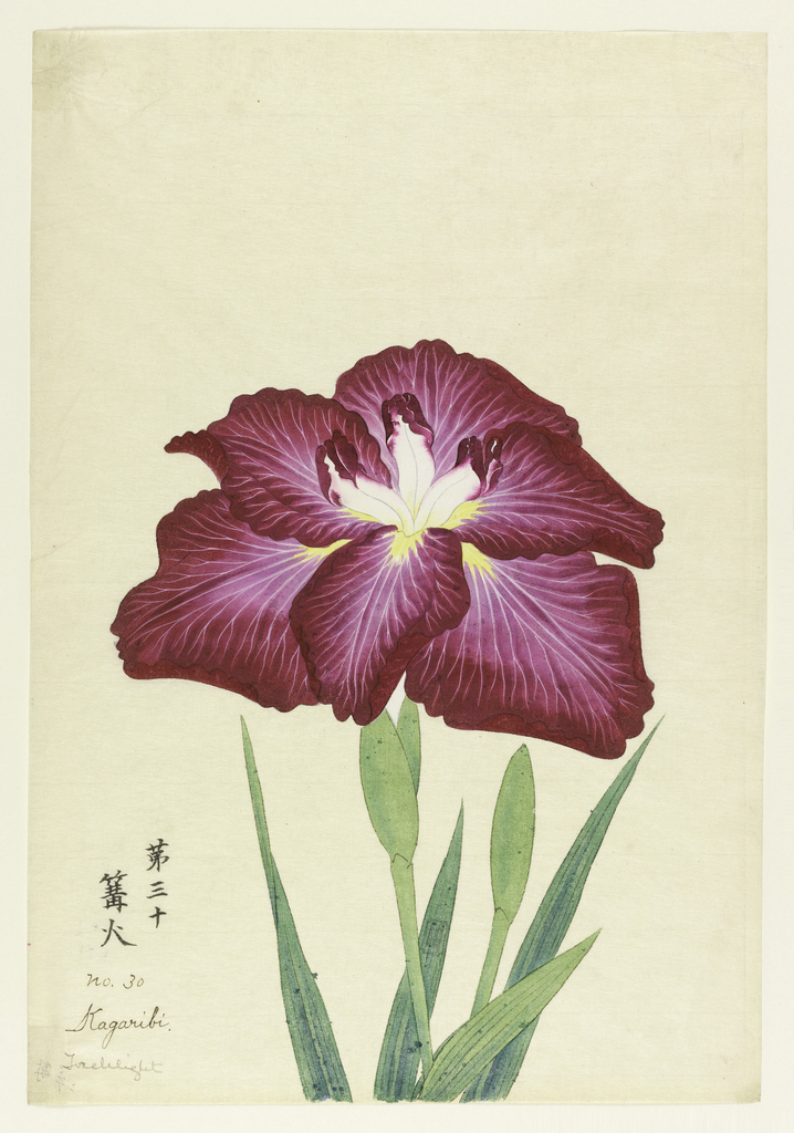 A large iris, outer perianth leaves deep red with rays of white; inner leaves white with magenta tips.