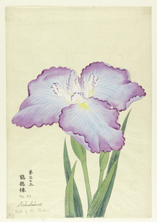 A large iris, outer perianth leaves light blue with lavender tips; inner leaves white with purple tips.