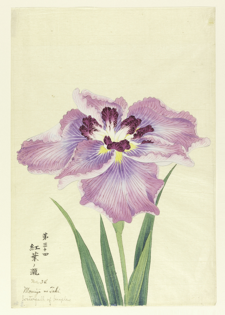 A large iris, outer perianth leaves violet; inner leaves white with deep magenta tips.