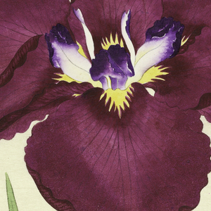 A large iris, outer perianth leaves deep magenta; inner leaves white with violet tips.