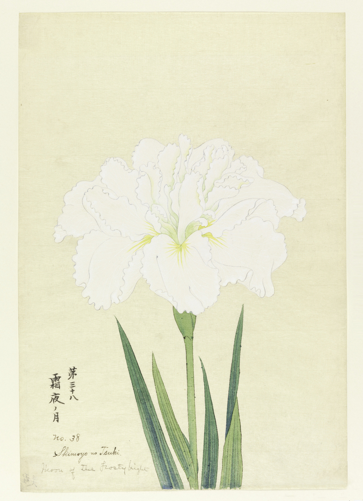A large iris, outer perianth leaves white; inner leaves with green tints.
