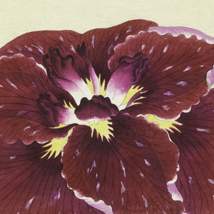 A large iris, outer perianth leaves in magenta with spots of lighter hue; inner leaves white to magenta.