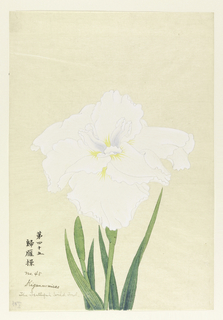 A large iris in white; inner perianth leaves with violet tints.