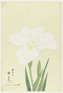 A large white iris, inner perianth leaves with yellow tints.