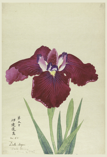 A large iris, outer perianth leaves magenta with rays of purple tints; inner leaves red and white with purple tips.