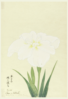 A large white iris. Upper portion of leaves, stem, bud.