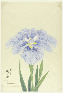 A large iris, the outer perianth leaves in mottled blue, the inner leaves white with purple tips.