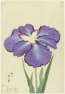 A large purple iris, the outer perianth leaves having light blue markings above and beneath. Inner leaves white and purple beneath. Upper portion leaves, stem, bud, against neutral background.