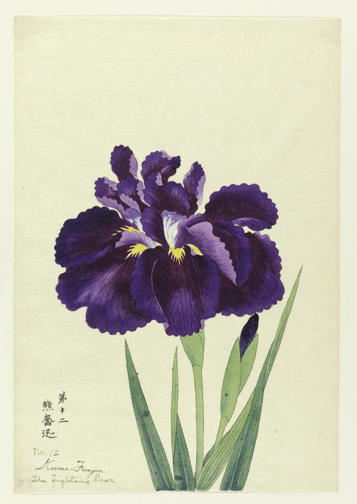 A large deep purple iris, the inner perianth leaves white, with purple tips.