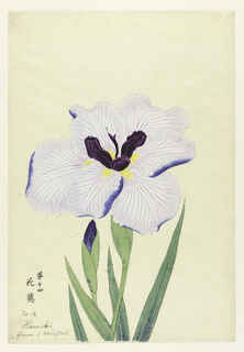 A large iris, outer perianth leaves light purple, inner leaves deep purple.