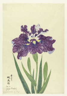 A large iris in mottled purple.
