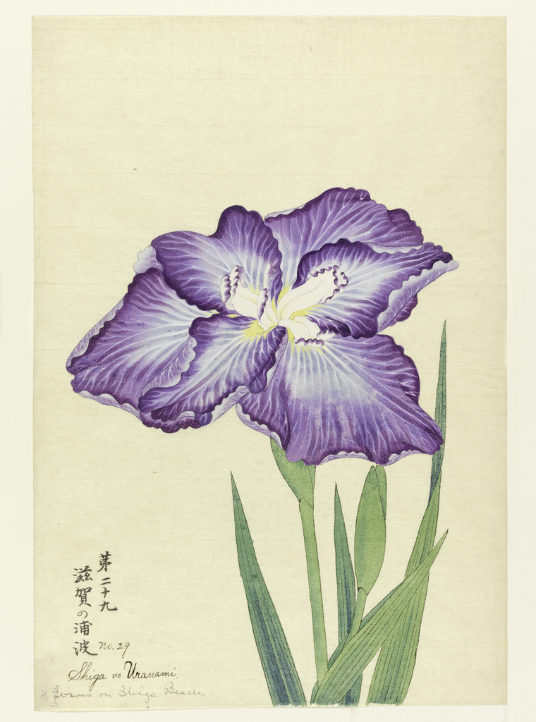 A large iris, outer perianth leaves purple with rays of white; inner leaves white with purple tips.