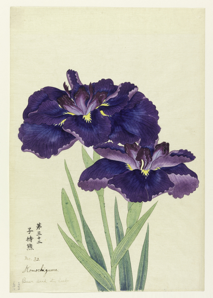 Two irises, outer perianth leaves in deep blue-purple; inner leaves purple.