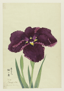 A large iris in deep magenta-purple.