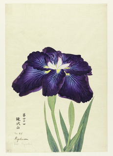 A large iris, outer perianth leaves deep purple to light blue at center; inner leaves white with purple tips.