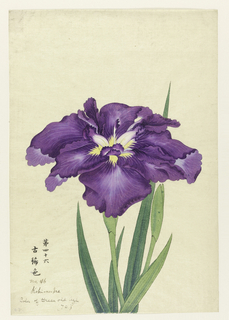 A large iris, outer perianth leaves purple, shot with light blue tints.