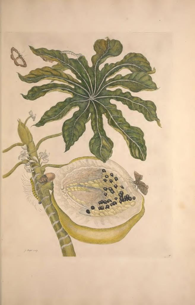 Book Illustration, Metamorphosis insectorum Surinamensium (Metamorphosis of Insects of Surinam), Papaya with caterpillars