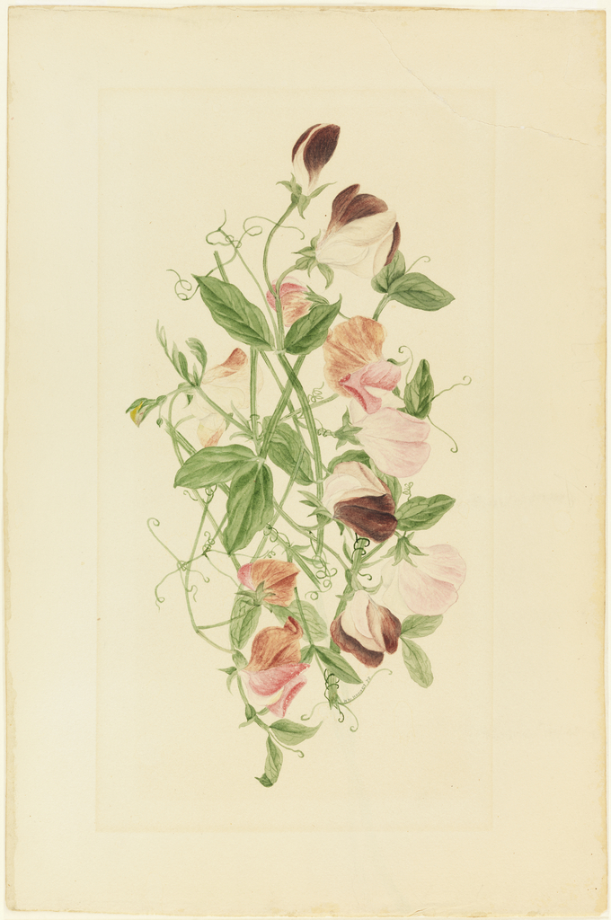 Flowering sweet pea vines. Signed and dated in green watercolor along one of the lower tendrils.