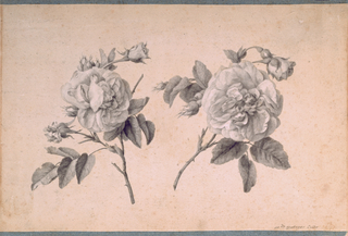 Drawing shows two sprigs of roses with leaves, buds and two fully developed flowers.